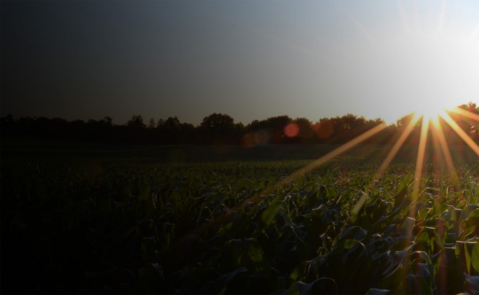 sun setting on a corn field